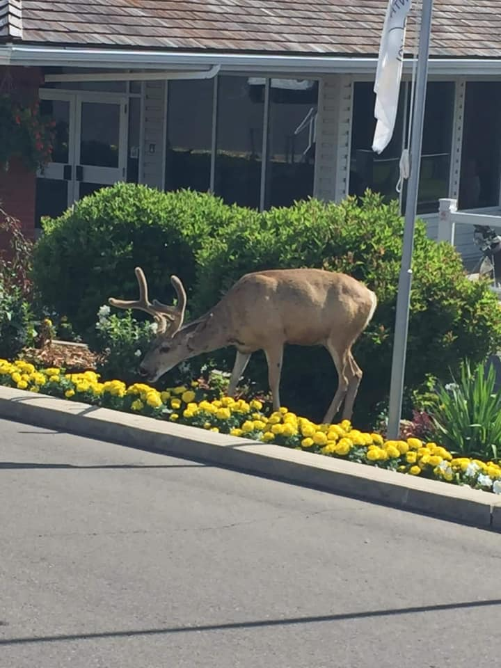 Elk wanders in a golf course and devours plants. Until Plantskydd saves the day!